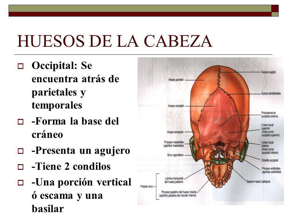 HUESOS DE LA CABEZA Occipital: Se encuentra atrás de parietales y temporales. -Forma la base del cráneo.