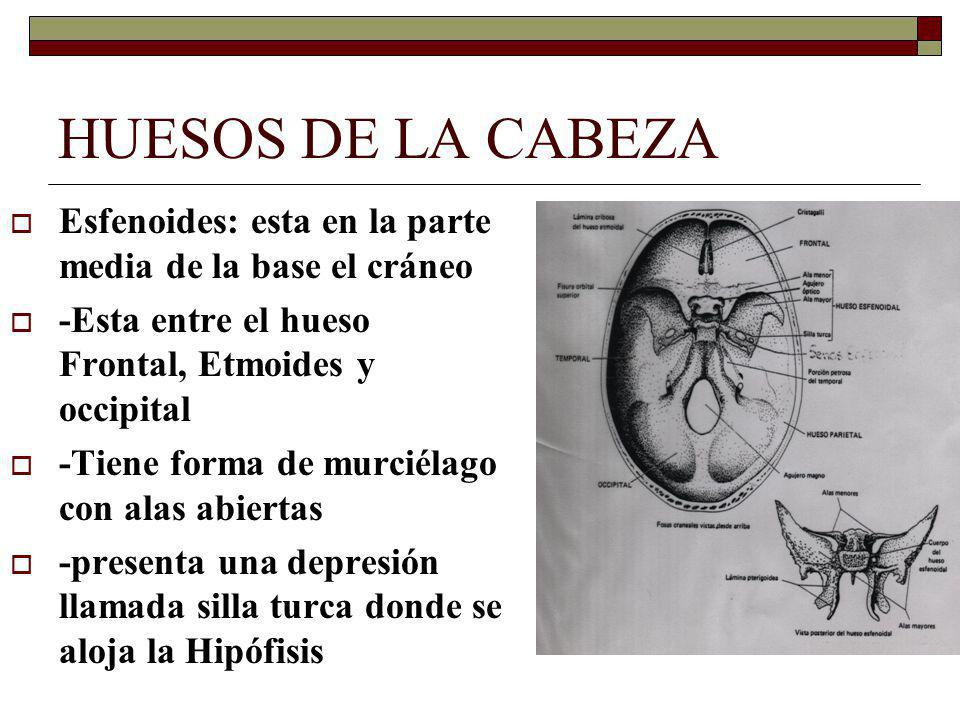 HUESOS DE LA CABEZA Esfenoides: esta en la parte media de la base el cráneo. -Esta entre el hueso Frontal, Etmoides y occipital.