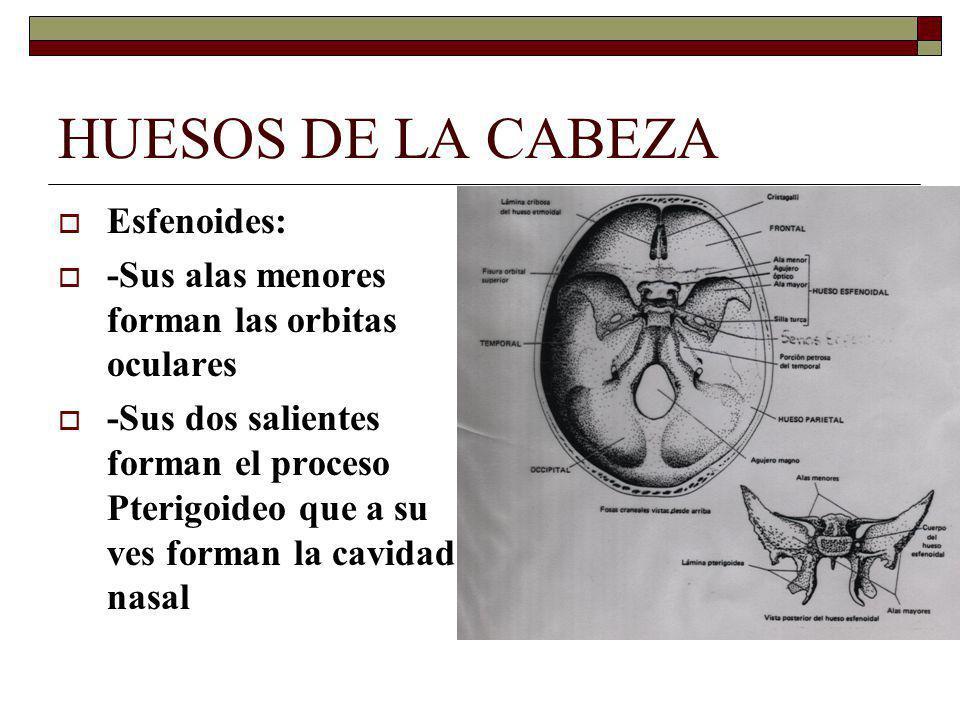 HUESOS DE LA CABEZA Esfenoides:
