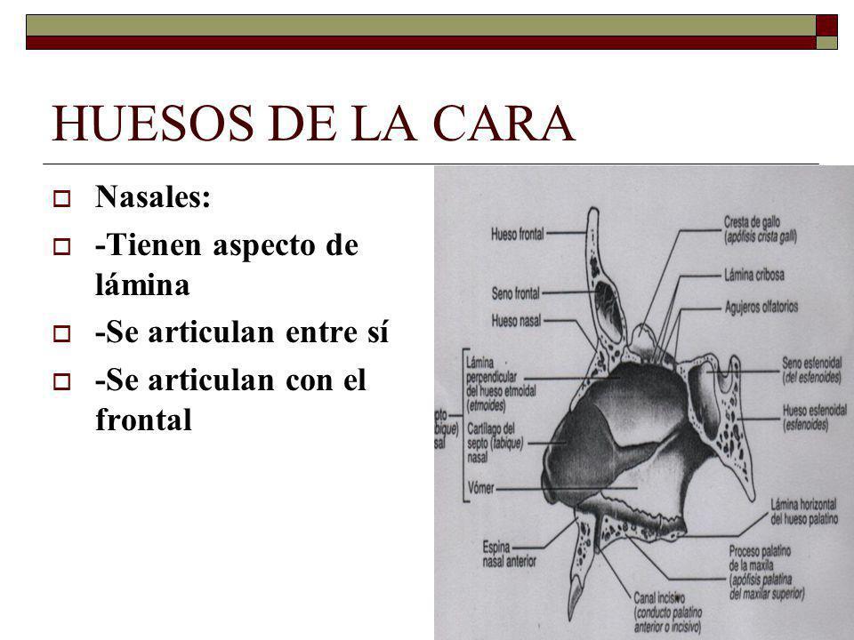 HUESOS DE LA CARA Nasales: -Tienen aspecto de lámina