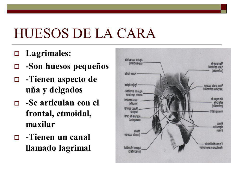 HUESOS DE LA CARA Lagrimales: -Son huesos pequeños