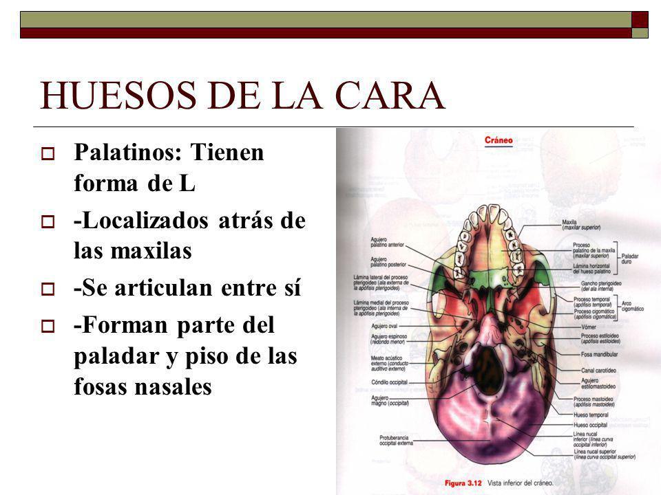 HUESOS DE LA CARA Palatinos: Tienen forma de L