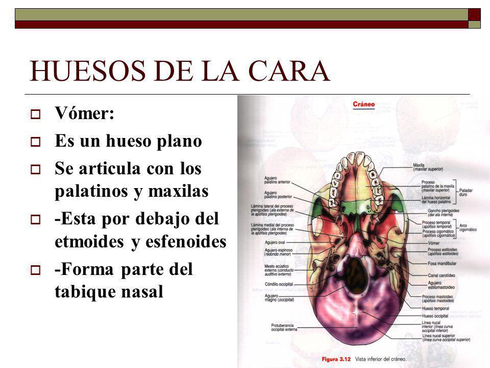 HUESOS DE LA CARA Vómer: Es un hueso plano