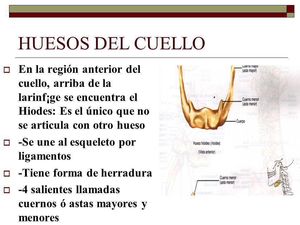 HUESOS DEL CUELLO En la región anterior del cuello, arriba de la larinf¡ge se encuentra el Hiodes: Es el único que no se articula con otro hueso.