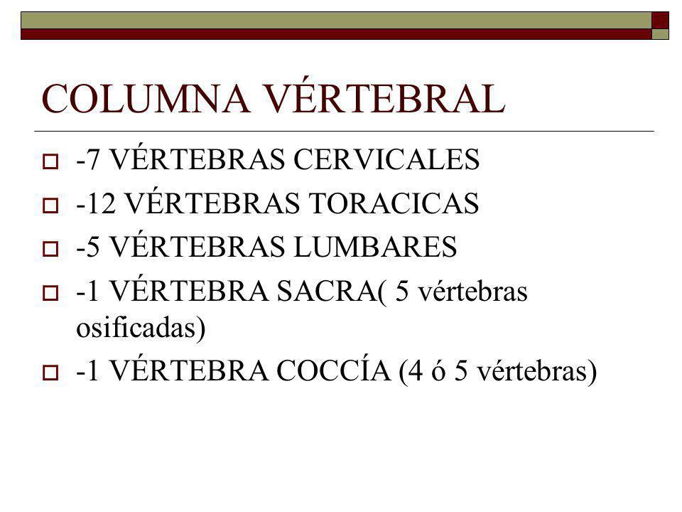COLUMNA VÉRTEBRAL -7 VÉRTEBRAS CERVICALES -12 VÉRTEBRAS TORACICAS