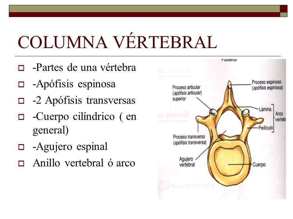 COLUMNA VÉRTEBRAL -Partes de una vértebra -Apófisis espinosa