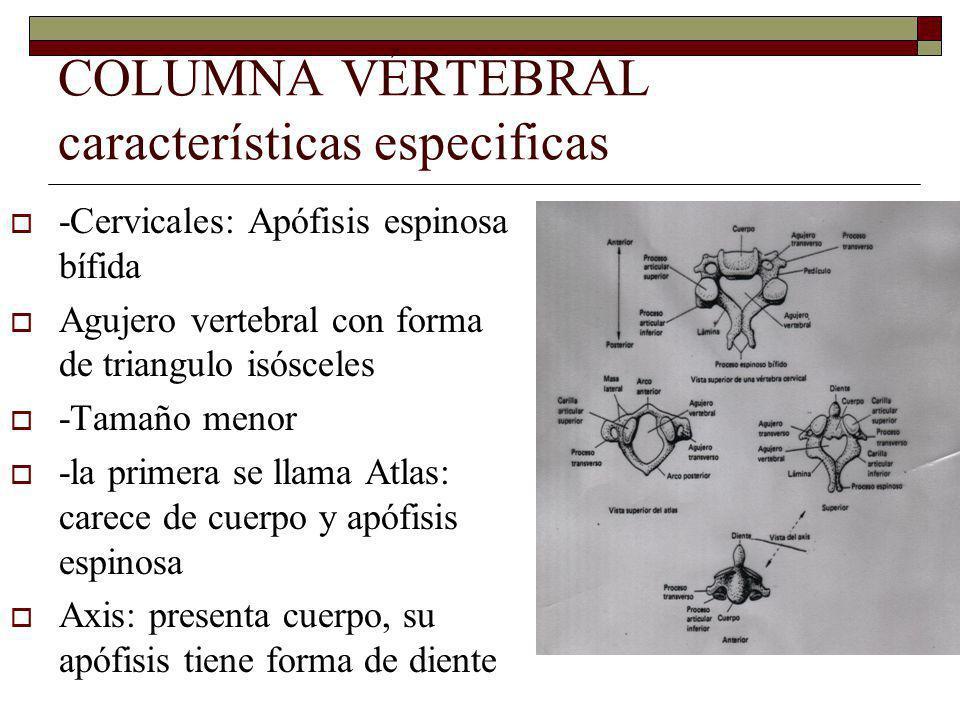 COLUMNA VÉRTEBRAL características especificas
