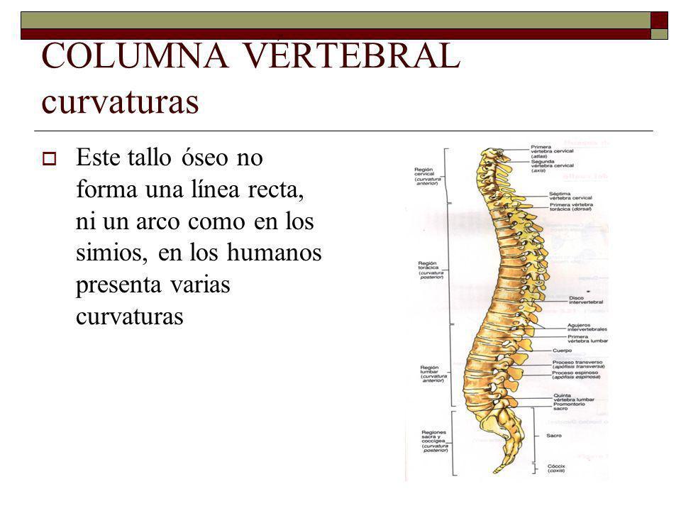 COLUMNA VÉRTEBRAL curvaturas