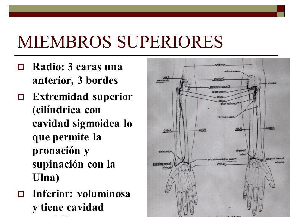 MIEMBROS SUPERIORES Radio: 3 caras una anterior, 3 bordes