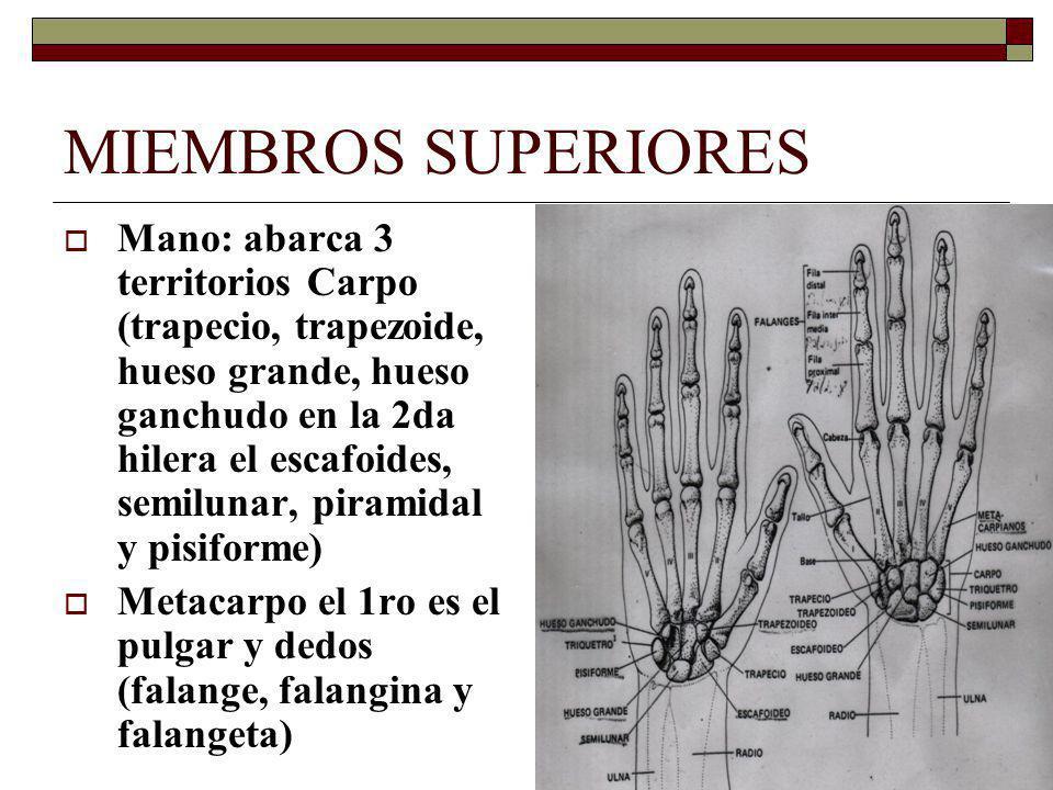 MIEMBROS SUPERIORES