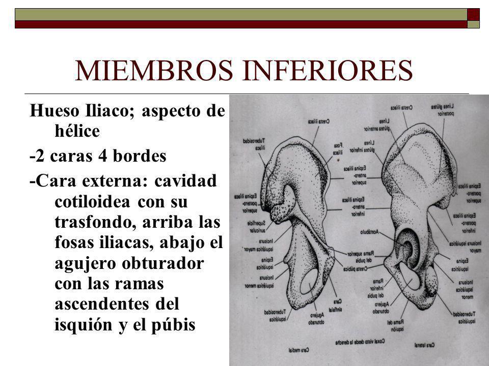 MIEMBROS INFERIORES Hueso Iliaco; aspecto de hélice -2 caras 4 bordes