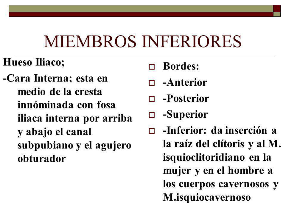 MIEMBROS INFERIORES Hueso Iliaco; Bordes: