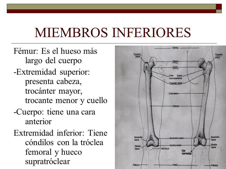 MIEMBROS INFERIORES Fémur: Es el hueso más largo del cuerpo