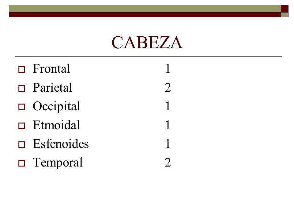 CABEZA Frontal 1 Parietal 2 Occipital 1 Etmoidal 1 Esfenoides 1