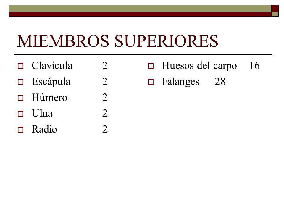 MIEMBROS SUPERIORES Clavícula 2 Escápula 2 Húmero 2 Ulna 2 Radio 2
