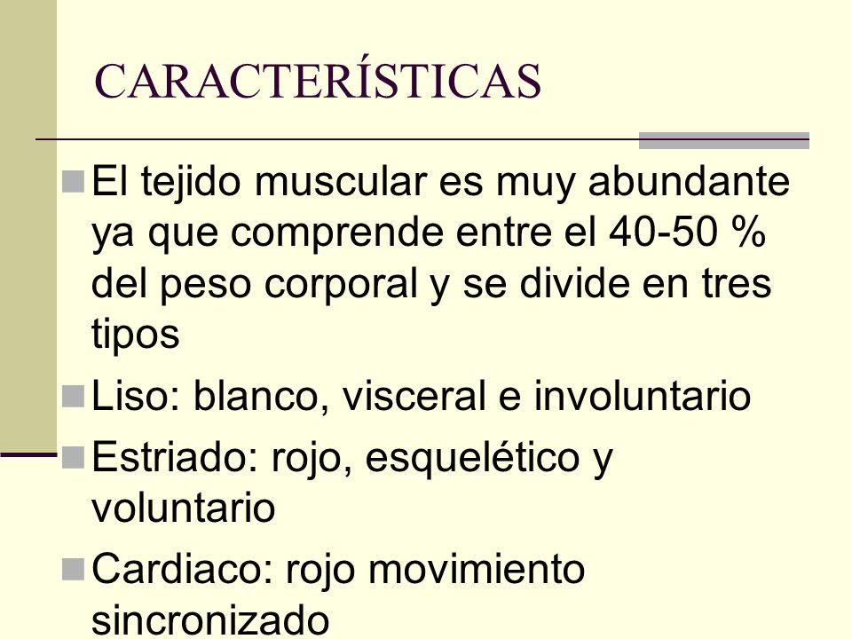 CARACTERÍSTICAS El tejido muscular es muy abundante ya que comprende entre el 40-50 % del peso corporal y se divide en tres tipos.