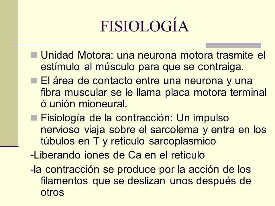 FISIOLOGÍA Unidad Motora: una neurona motora trasmite el estímulo al músculo para que se contraiga.