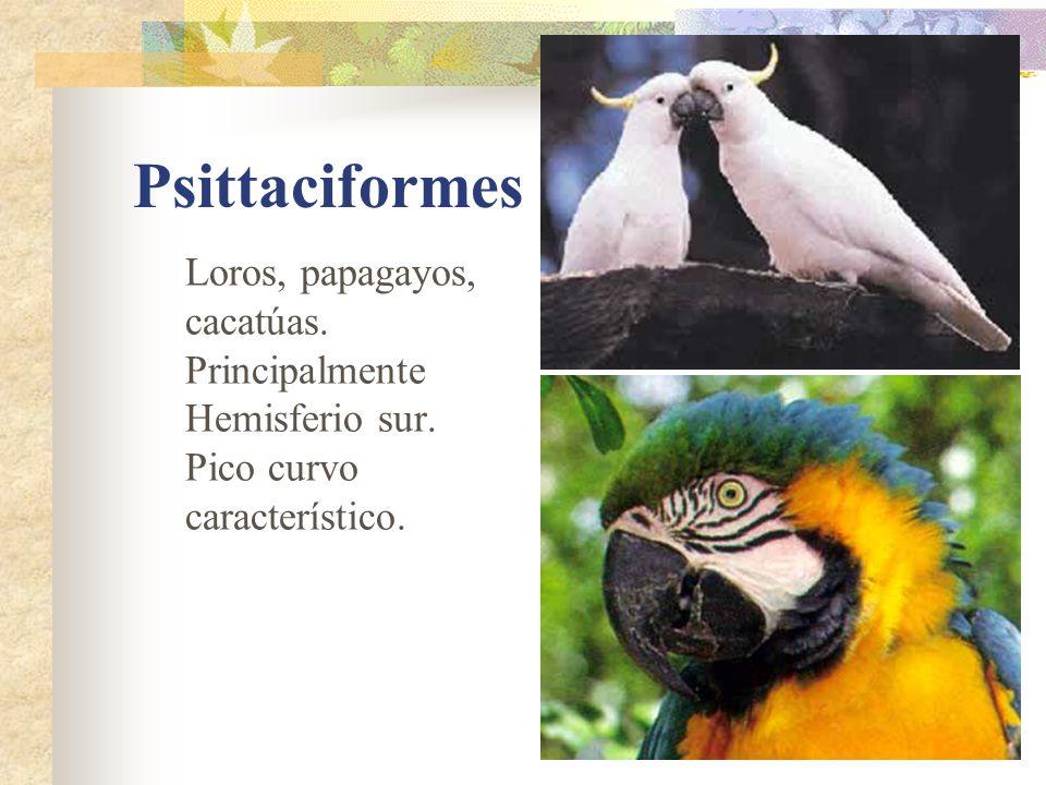 Psittaciformes Loros, papagayos, cacatúas. Principalmente Hemisferio sur.