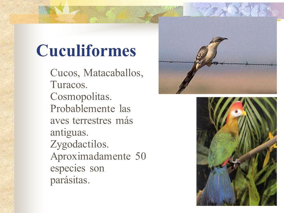 Cuculiformes Cucos, Matacaballos, Turacos. Cosmopolitas.