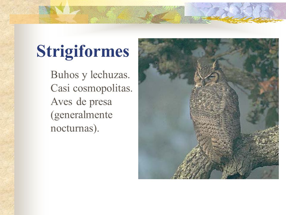 Strigiformes Buhos y lechuzas. Casi cosmopolitas.