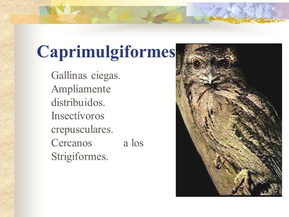 Caprimulgiformes Gallinas ciegas. Ampliamente distribuidos.