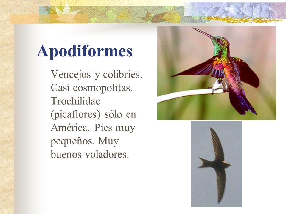 Apodiformes Vencejos y colibries. Casi cosmopolitas.