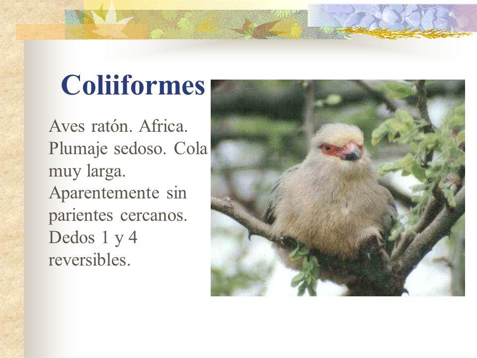 Coliiformes Aves ratón. Africa. Plumaje sedoso. Cola muy larga.