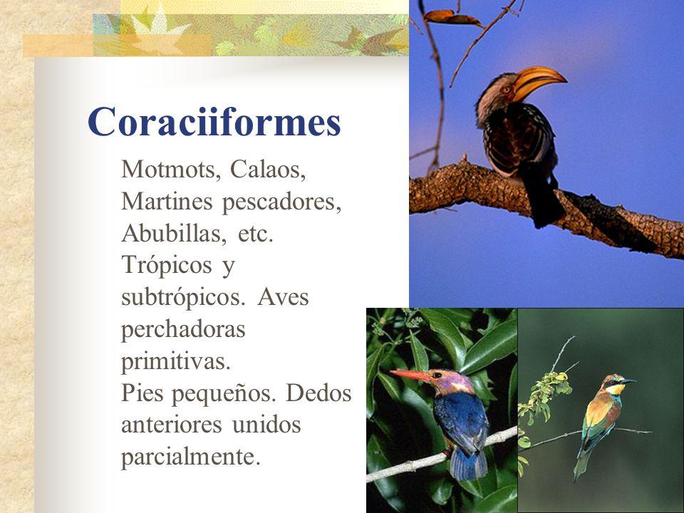 Coraciiformes Motmots, Calaos, Martines pescadores, Abubillas, etc.