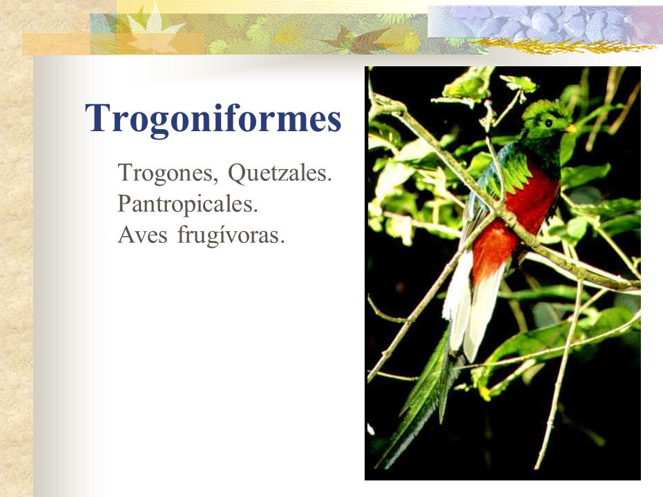 Trogoniformes Trogones, Quetzales. Pantropicales. Aves frugívoras.