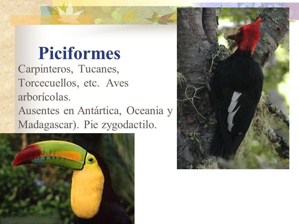 Piciformes Carpinteros, Tucanes, Torcecuellos, etc. Aves arborícolas.
