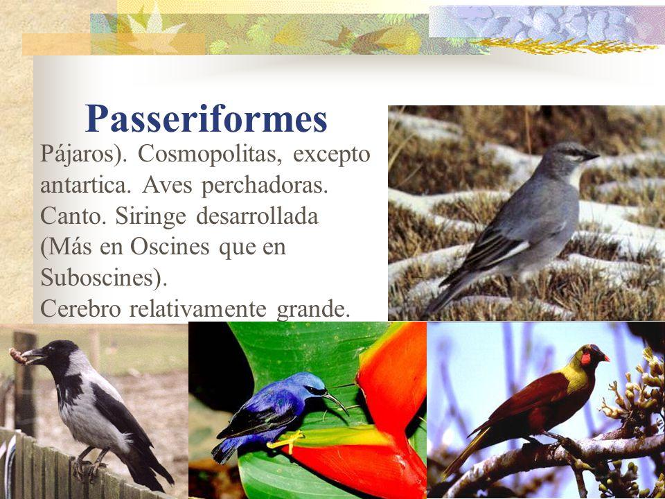 Passeriformes Pájaros). Cosmopolitas, excepto antartica. Aves perchadoras. Canto. Siringe desarrollada (Más en Oscines que en Suboscines).