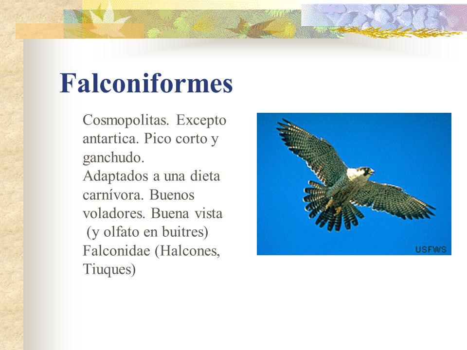 Falconiformes Cosmopolitas. Excepto antartica. Pico corto y ganchudo.
