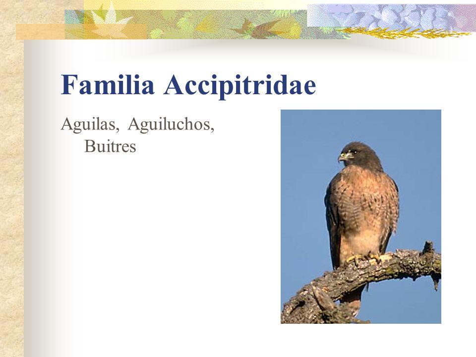 Familia Accipitridae Aguilas, Aguiluchos, Buitres
