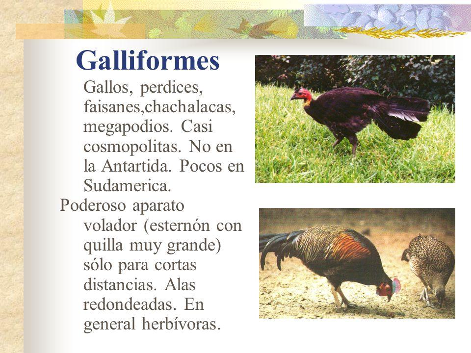 Galliformes Gallos, perdices, faisanes,chachalacas, megapodios. Casi cosmopolitas. No en la Antartida. Pocos en Sudamerica.
