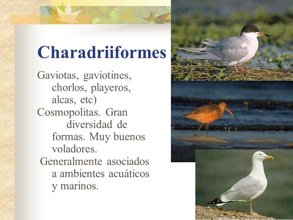 Charadriiformes Gaviotas, gaviotines, chorlos, playeros, alcas, etc)