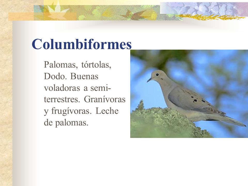 Columbiformes Palomas, tórtolas, Dodo. Buenas voladoras a semi-terrestres.