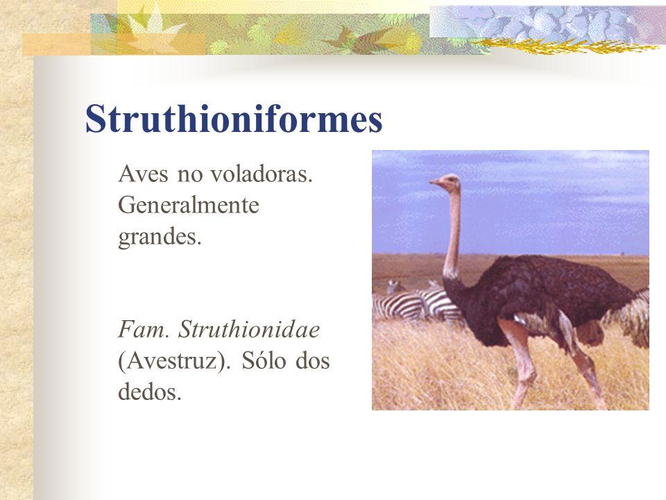 Struthioniformes Aves no voladoras. Generalmente grandes.