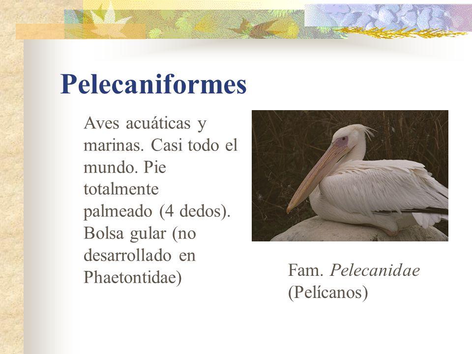 Pelecaniformes Aves acuáticas y marinas. Casi todo el mundo. Pie totalmente. palmeado (4 dedos). Bolsa gular (no desarrollado en Phaetontidae)