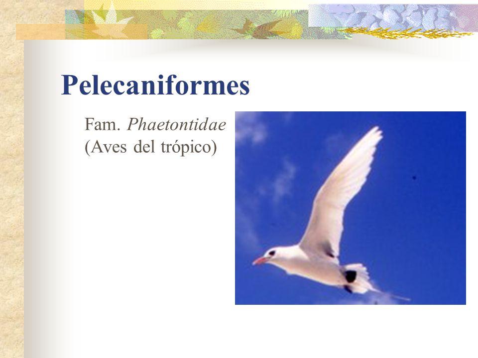 Pelecaniformes Fam. Phaetontidae (Aves del trópico)