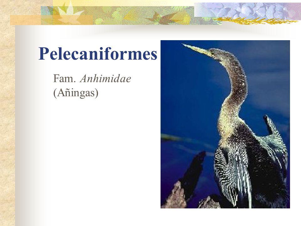 Pelecaniformes Fam. Anhimidae (Añingas)
