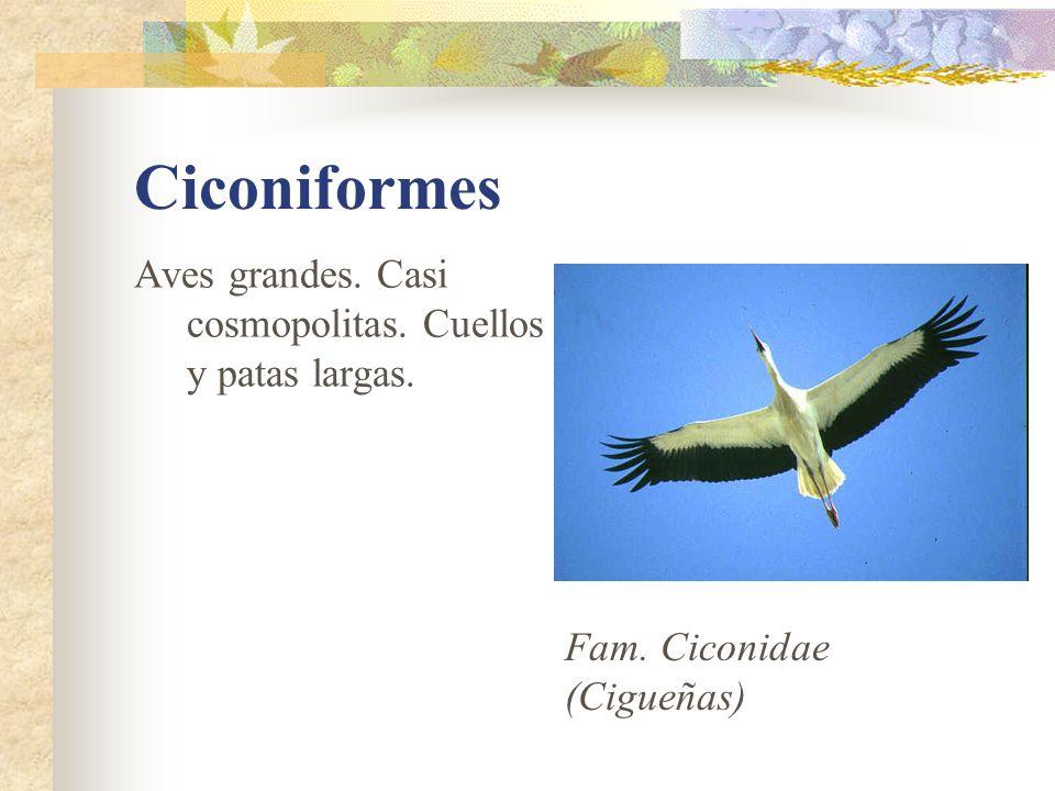 Ciconiformes Aves grandes. Casi cosmopolitas. Cuellos y patas largas.
