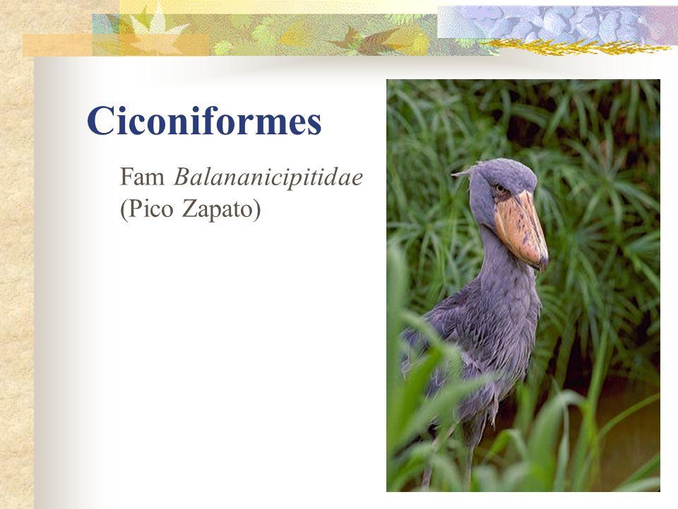 Ciconiformes Fam Balananicipitidae (Pico Zapato)