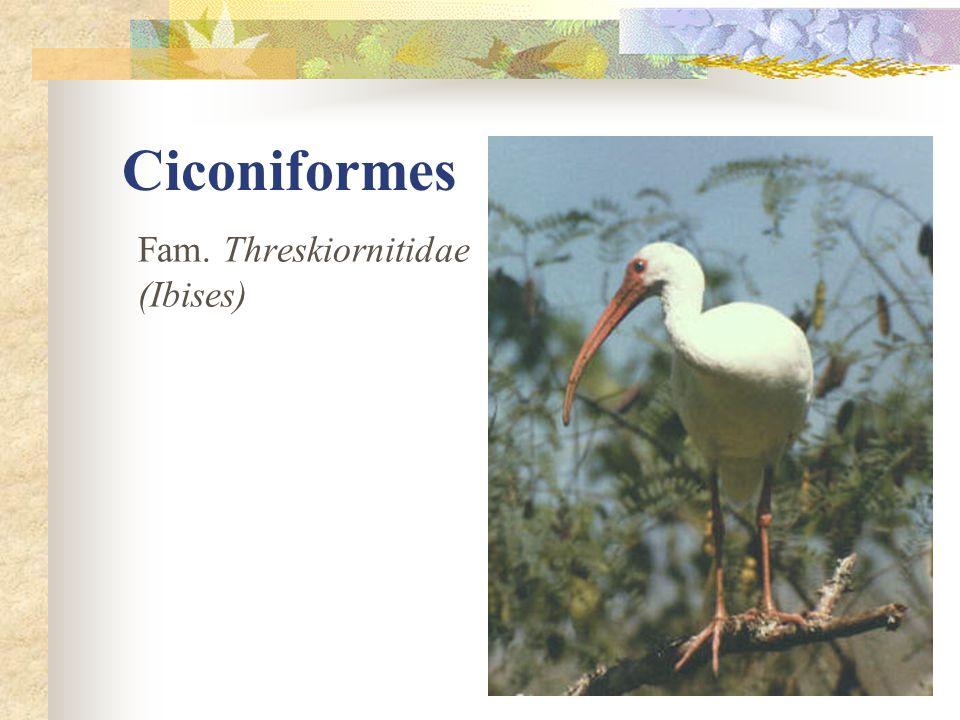 Ciconiformes Fam. Threskiornitidae (Ibises)