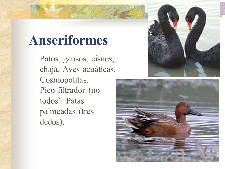Anseriformes Patos, gansos, cisnes, chajá. Aves acuáticas.