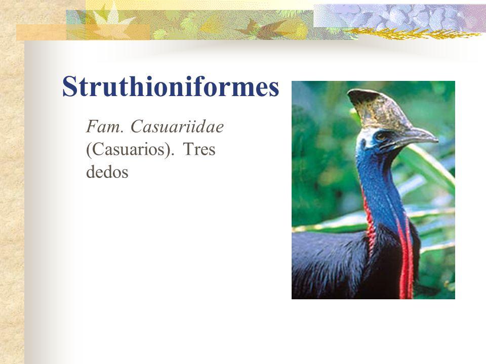 Struthioniformes Fam. Casuariidae (Casuarios). Tres dedos
