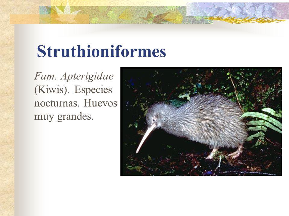 Struthioniformes Fam. Apterigidae (Kiwis). Especies nocturnas. Huevos muy grandes.
