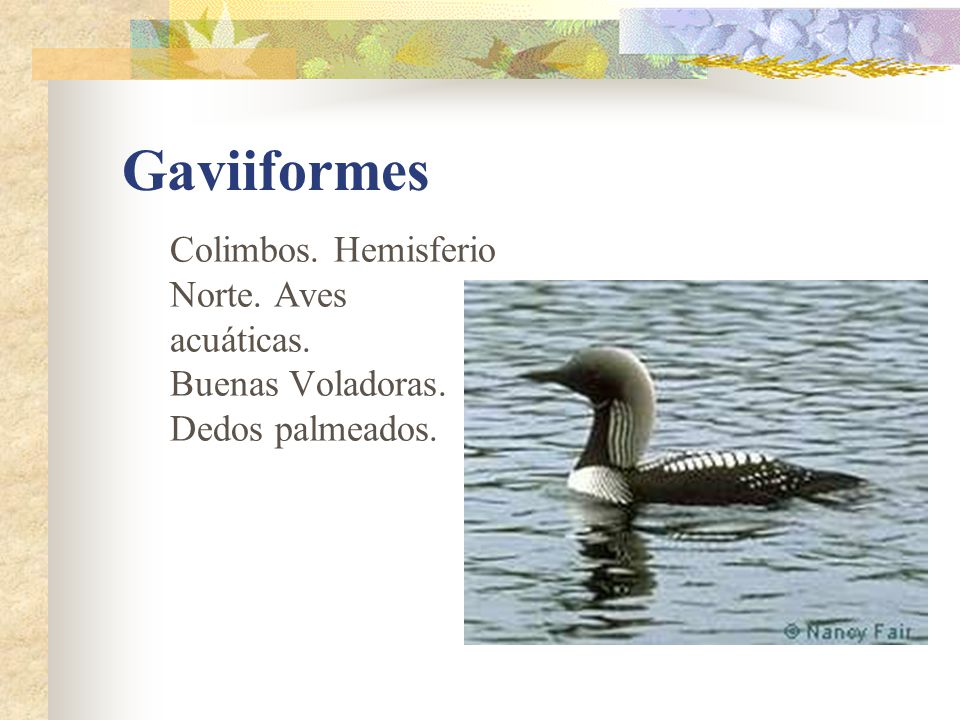 Gaviiformes Colimbos. Hemisferio Norte. Aves acuáticas.
