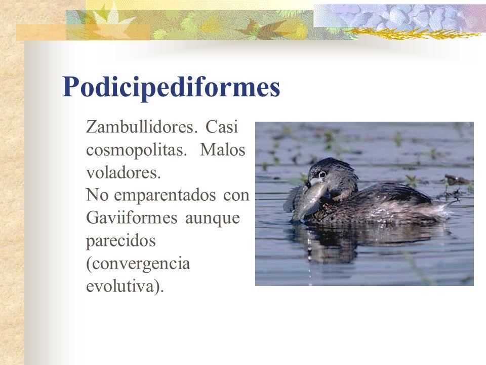 Podicipediformes Zambullidores. Casi cosmopolitas. Malos voladores.