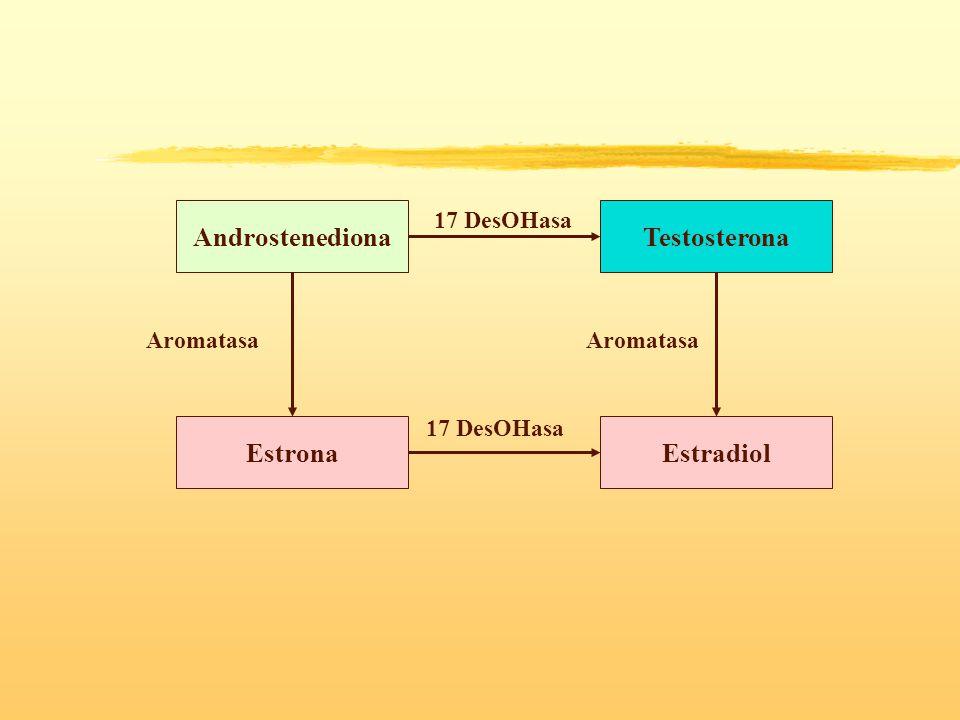 Androstenediona Testosterona Estrona Estradiol