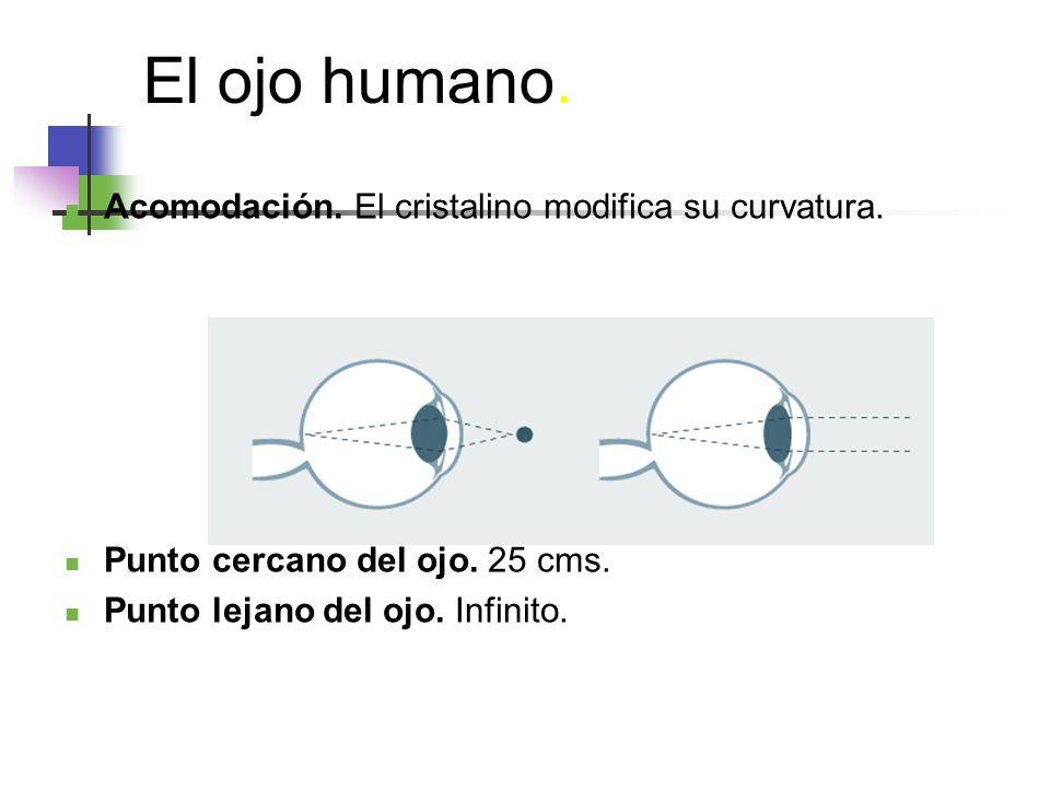 El ojo humano. Acomodación. El cristalino modifica su curvatura.